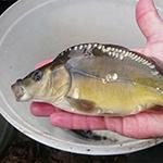 Kleine spiegelkarper, pootvis © Visserijonderzoek Kalkman