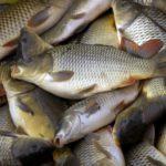 Schubkarper, pootvis © Visserijonderzoek Kalkman